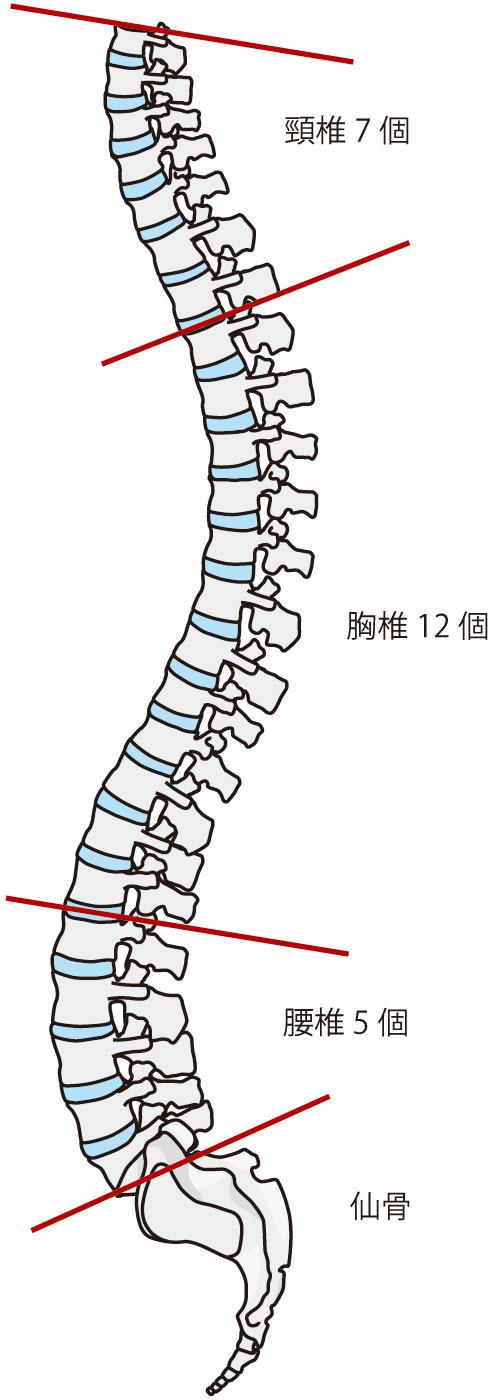 背骨のS字カーブがポイント