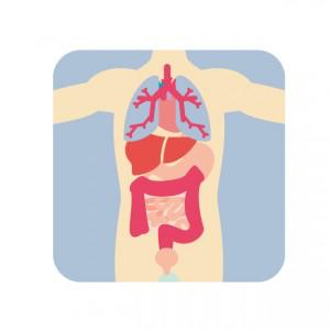 内臓も腰痛と関係しています