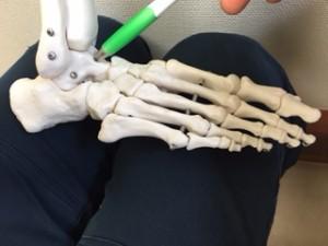 すねの下の骨の距骨がポイント