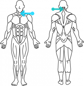 首から腕にかけて筋肉があります